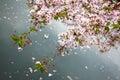 Cereza flor, Japón