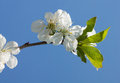Cherry blossom over blue sky Royalty Free Stock Image