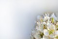 Cherry blossom part of a tree bouquet on vaporous background Stock Photos