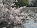 Cherry blossom and the petals on water Stock Photo