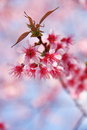 Cherry blossom pink with leaf Royalty Free Stock Photo