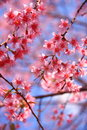 Cherry blossom pink with leaf Stock Photo