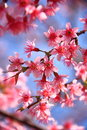 Cherry blossom pink with leaf Stock Photography