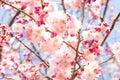 Cherry blossom rosa Fotografia Stock