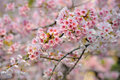 Cherry Blossom (Sakura) Royalty Free Stock Photos