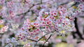 Cherry Blossom (Sakura) Royalty Free Stock Image