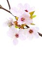 Cherry blossom (sakura flowers), on white Stock Photos