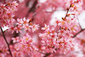 Cherry blossom sakura in springtime beautiful pink flowers Royalty Free Stock Image
