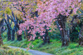 Cherry blossom or sakura in the winter Stock Image
