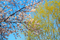 Cherry blossom season flower with sky Royalty Free Stock Image