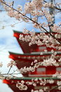 Cherry blossom season twigs of blossoms and a red padoga at background Royalty Free Stock Image