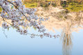 Cherry blossom season with water reflection Royalty Free Stock Image