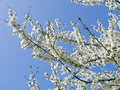 Cherry blossom in spring background Stock Image