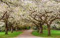 Cherry blossom in stanley park vancouver canada Stock Photography