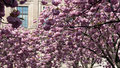 Cherry blossom at the Stock Exchange, Frankfurt Stock Photography