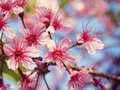 Cherry blossom of thailand beautiful pink in winter chiangmai Stock Photography