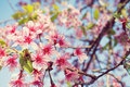 Cherry blossom of thailand beautiful pink in winter chiangmai Royalty Free Stock Photography