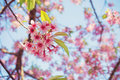 Cherry blossom of thailand beautiful pink in winter chiangmai Stock Photos