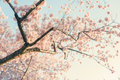 Cherry blossom tree a Royalty Free Stock Photo