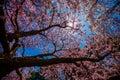 Cherry Blossom Tree Royalty Free Stock Photo