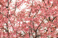 Cherry blossom tree branch thailand Royalty Free Stock Images
