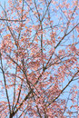 Cherry blossom tree branch thailand Stock Photo