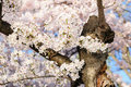Cherry blossom tree close up a Royalty Free Stock Photo
