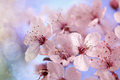 Cherry blossom tree in full bloom soft focus against blue sky concept for the season of spring Royalty Free Stock Images
