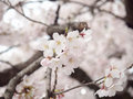 Cherry blossom on tree in Japan Royalty Free Stock Photo