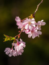 Cherry blossom tree mini flowers on branches in spring Royalty Free Stock Photos