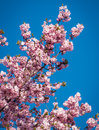 Cherry blossom tree mini flowers on branches in spring Stock Photography