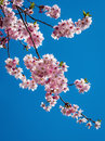 Cherry blossom tree mini flowers on branches in spring Stock Photo