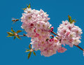 Cherry blossom tree mini flowers on branches in spring Stock Photos