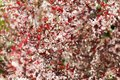 Cherry blossom tree with pink and red flowers background.Tall cherry tree with blossomed branches on a sunny spring day. Royalty Free Stock Photo
