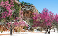 Cherry blossom trees at red rock canyon open space colorado spri the is considered the little sister area to the popular vacation Royalty Free Stock Photography