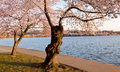 Cherry Blossom Trees by Tidal Basin Stock Image