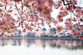Cherry blossom trees in Washington DC Royalty Free Stock Photo