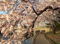 Cherry Blossom Tunnel Royalty Free Stock Photos