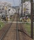 Cherry blossom tunnel, Keifuku line, Arashiyama, Kyoto from inside the train in sunny day in Kyoto Royalty Free Stock Photo