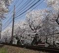 Cherry blossom tunnel, Keifuku line, Arashiyama, Kyoto. railway and white flowers Royalty Free Stock Photo