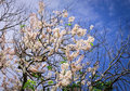 Cherry blossom under blue sky in spring time Royalty Free Stock Photo