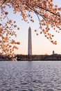 Cherry Blossom and Washington Monument Royalty Free Stock Photo