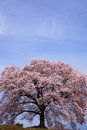 Cherry blossomes name is wanitsuka no sakura yamanashi japan Royalty Free Stock Photography