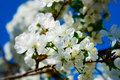 Cherry blossoms against blue sky Royalty Free Stock Photography