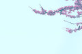 Cherry blossoms against a blue sky. Empty copy space