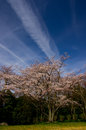 Cherry blossoms against blue sky in kagawa japan Royalty Free Stock Images
