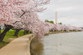 Cherry blossoms along the tidal basin blossom trees in washington dc Royalty Free Stock Image