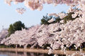 Cherry blossoms along the tidal basin hanging over in washington dc during peak bloom Royalty Free Stock Photography