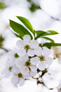 Cherry blossoms beautiful blooming flowers on tree branch Royalty Free Stock Photos