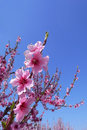 Cherry Blossoms With Blue Sky Stock Photography